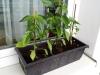 2014-06-22 papryczki chili