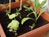 2014-06-22 pomidory, bazylie i nagietek