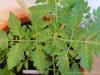2014-07-11_pomidor-black-cherry-liscie