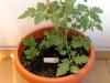 2014-07-11_pomidor-black-cherry