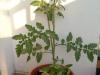 2014-07-11_pomidor-cytrynek-groniasty
