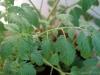2014-07-11_pomidor-latah-liscie