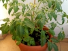 2014-07-11_pomidor-latah