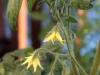 2014-07-11_pomidor-ola-polka-kwiaty2