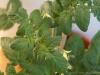 2014-07-11_pomidor-ola-polka-liscie