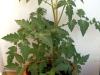 2014-07-11_pomidor-violet-jasper