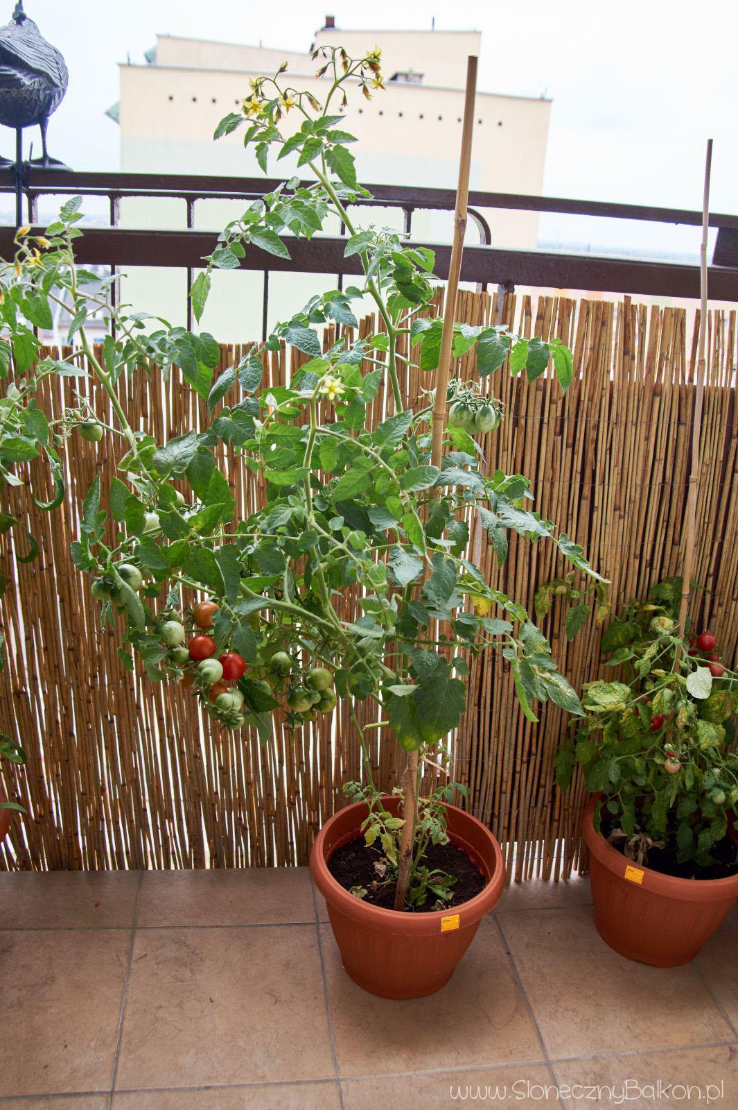 Pomidory Słoneczny Balkon