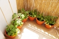 2015-06-14_pomidory-na-balkonie