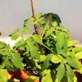 2015-06-14_pomidor-koktajlowy-indygo-rose