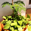 2015-06-14_pomidor-koktajlowy-perla-malopolski