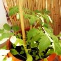 2015-06-14_pomidor-koktajlowy-radana