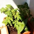 2015-06-14_pomidory-dziwaczek