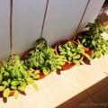 2015-06-14_pomidory-koktajlowe-balkon