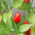 2015-08-29_chili-pimenta
