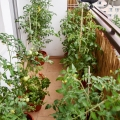2015-08-29_pomidorowa-dzungla
