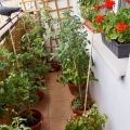 2015-08-29_pomidorowy-balkon