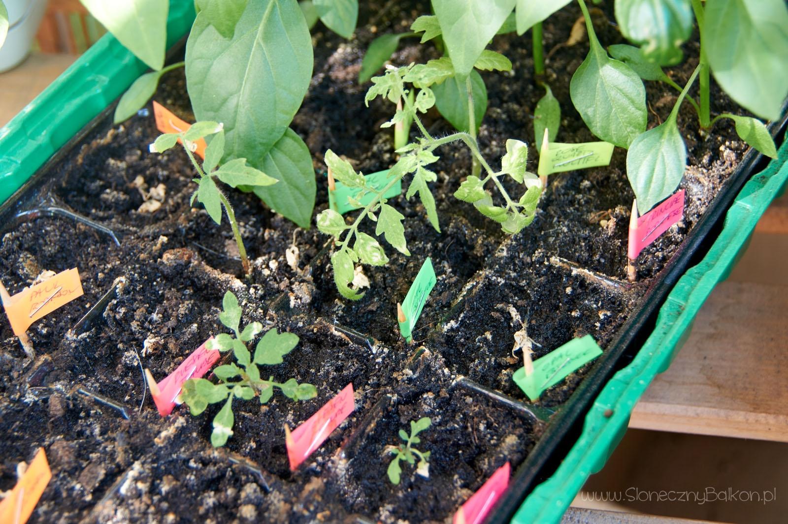 2016-05-24_pomidorowe-siewki