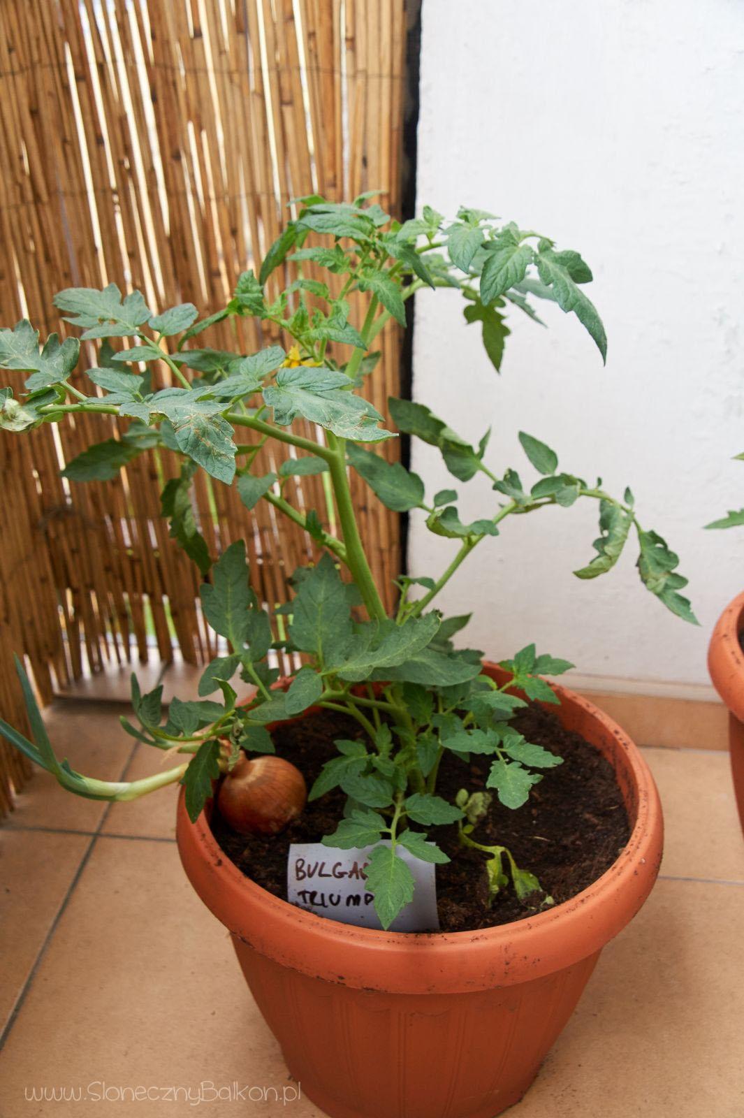 2016-05-29_pomidor-bulgarian-triumph