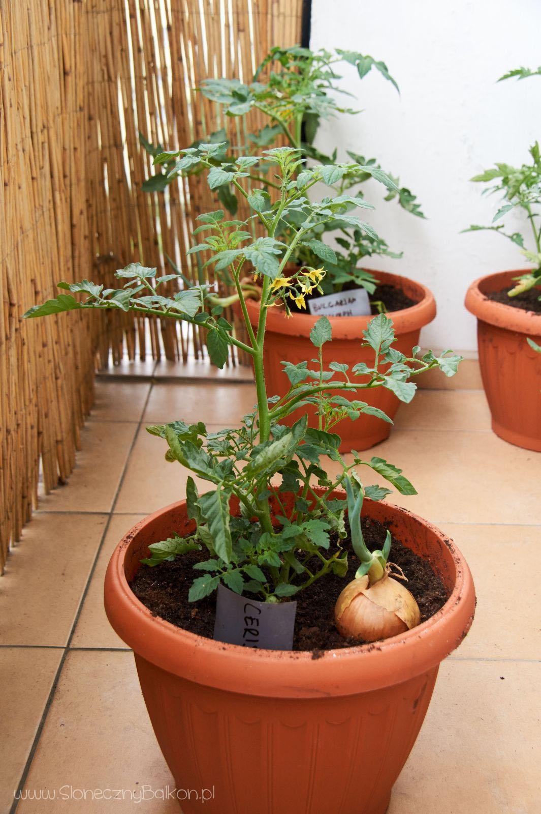 2016-05-29_pomidor-cerise