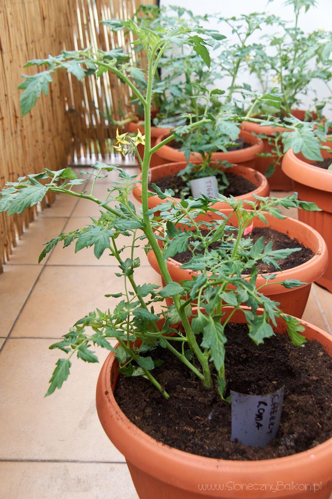 2016-05-29_pomidor-cherry-roma