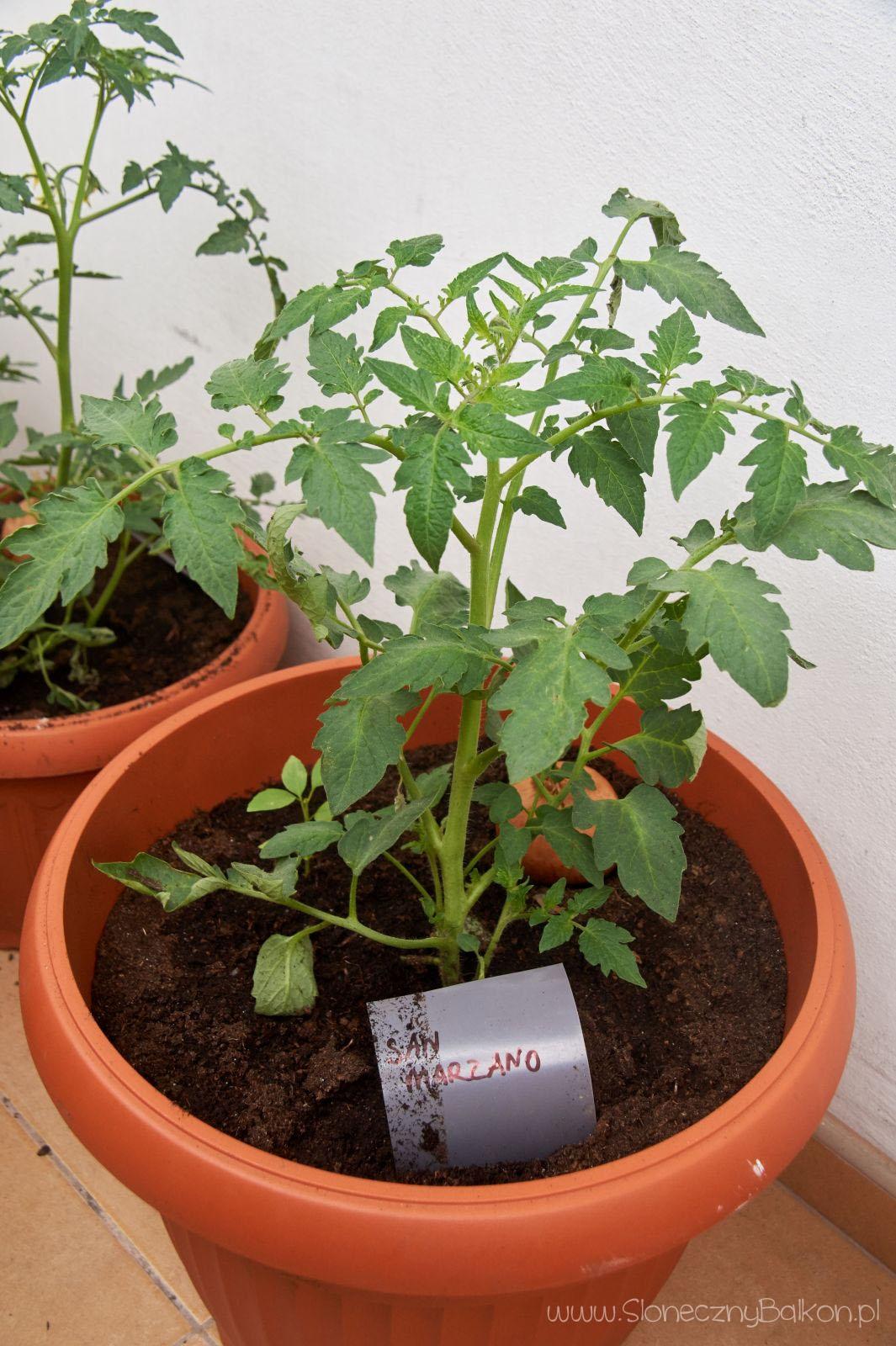 2016-05-29_pomidor-san-marzano