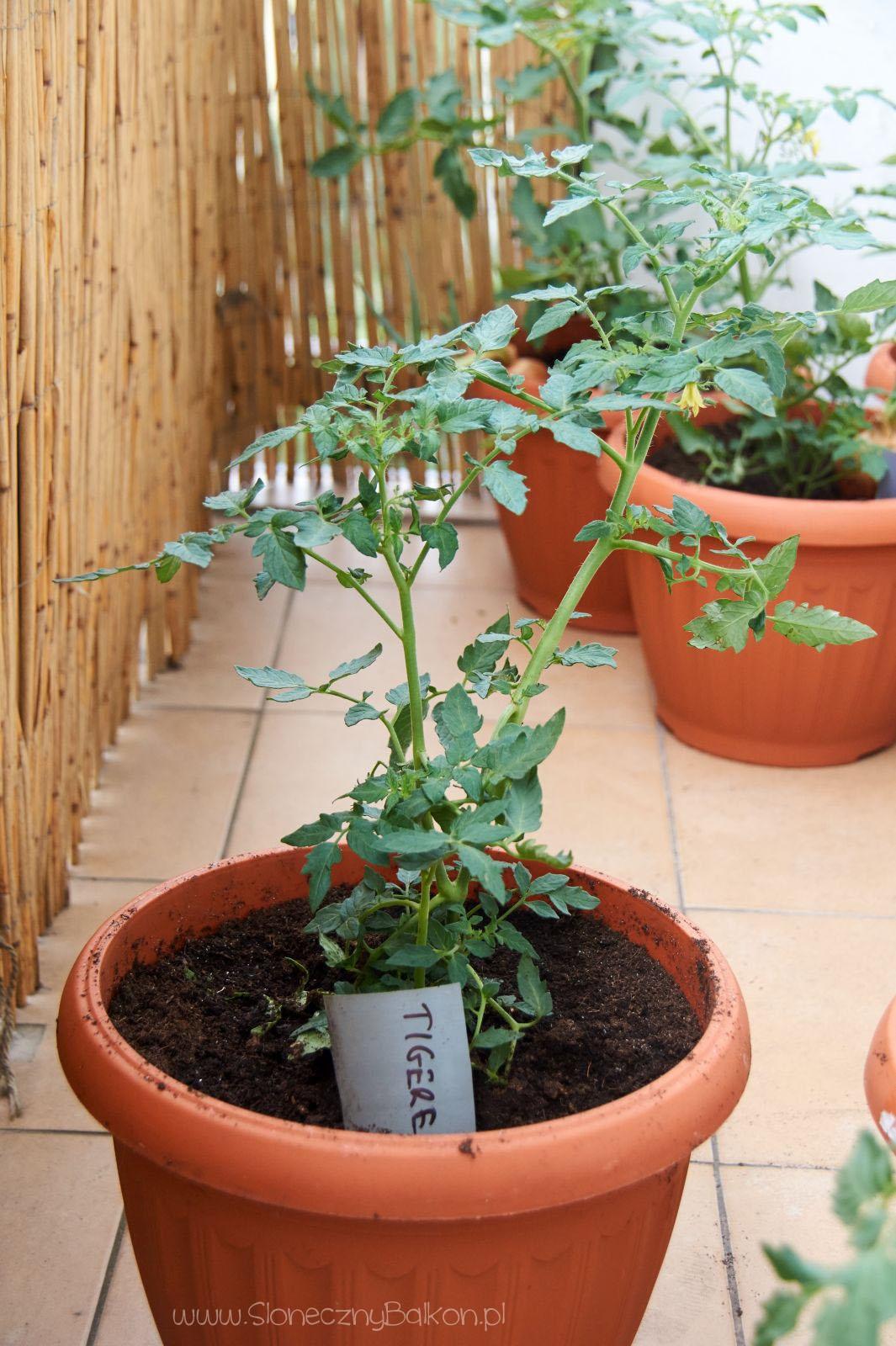 2016-05-29_pomidor-tigerella