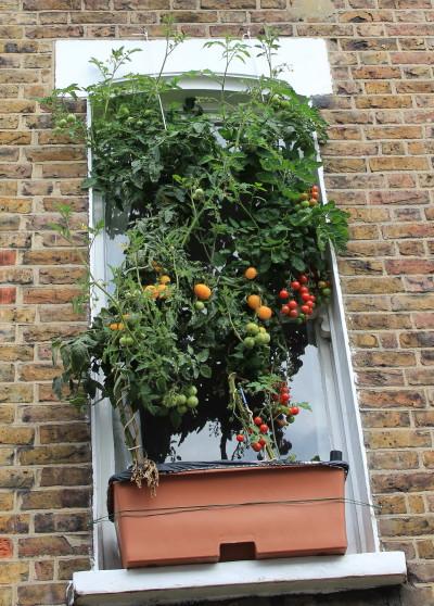pomidory na parapecie