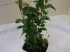 2012-04-06 drzewko laurowe