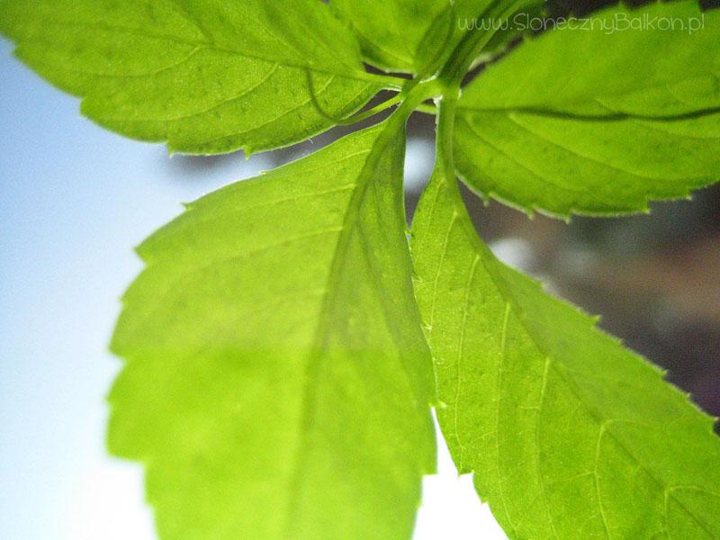 Jiaogulan - Gynostemma Pentaphyllum