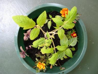 Uprawa współrzędna warzyw i ziół