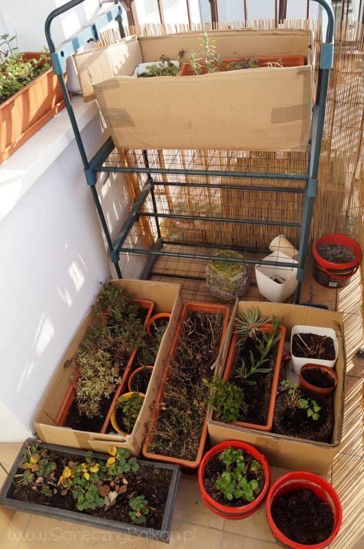 2013-12-27_roslin-zimowanie-na-balkonie