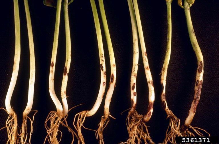 Zgorzel siewek – łatwiej zapobiegać niż leczyć