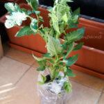 2016-05-24_sadzonka-pomidora2