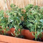 2016-05-24_sadzonki-pomidorow1