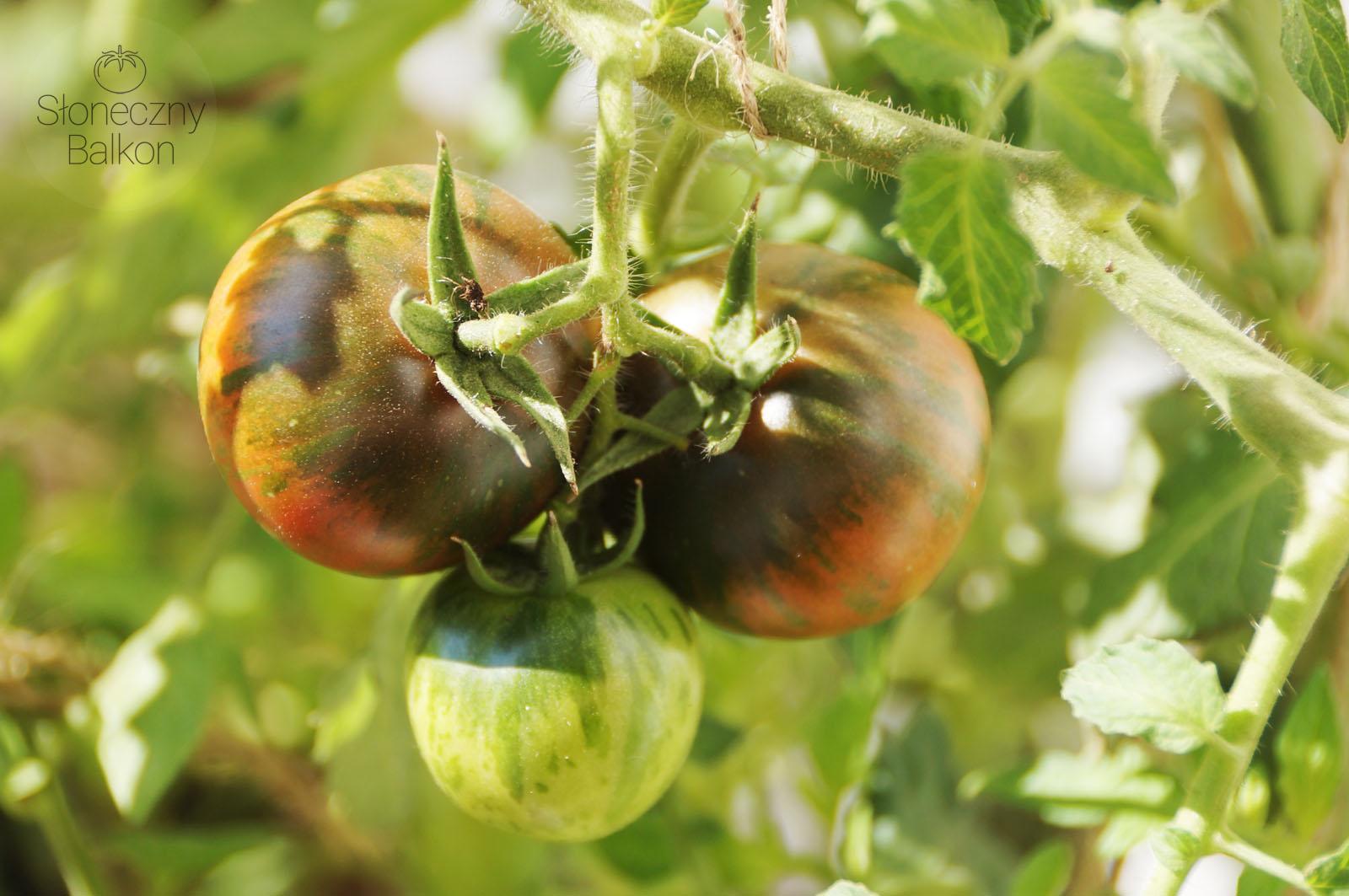 5 Ciekawych Odmian Pomidorów Na Balkon Słoneczny Balkon
