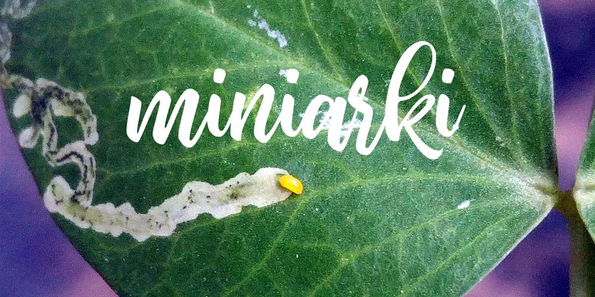 Miniarki – czyli kto drąży tunele w liściach?